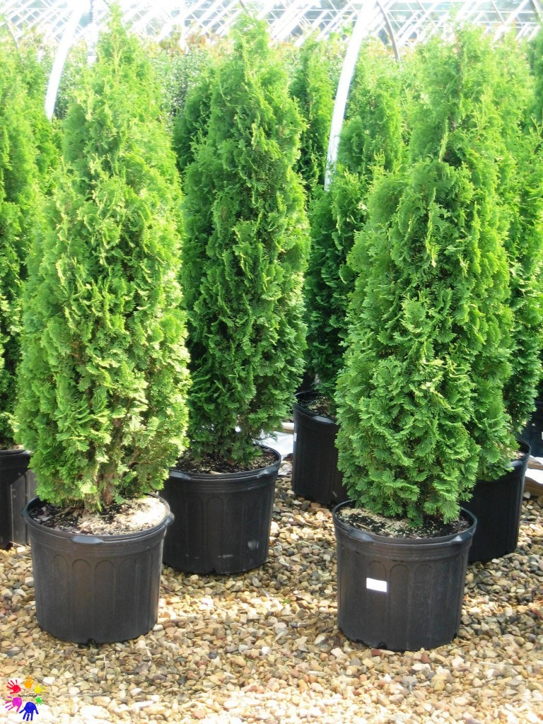 thuja_occidentalis1338574356856